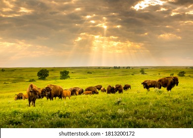 These impressive American Bison wander the Kansas Maxwell Prairie Preserve.