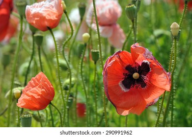 These magnificent and delicate flowers dot the Czech landscape and are mainly planted and reaped for baking purposes. Poppy seed tarts and cakes are simply delicious!