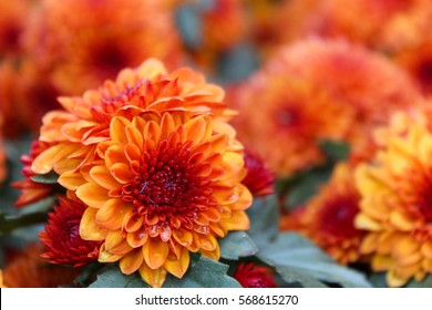 These are orange and red flowers called Chrysanthemum or Florist's Mun or mums flowers. And a sacred flower of China.