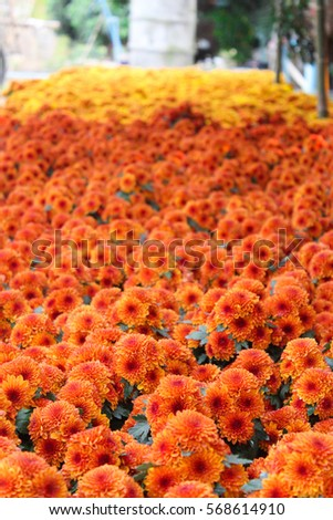 These orange red yellow flowers called stock photo edit now these are orange red and yellow flowers called chrysanthemum or florists mun or mums mightylinksfo