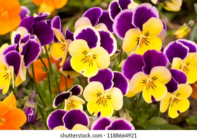These are the pansies that bloomed in the garden. Scientific name is Viola × wittrockiana.