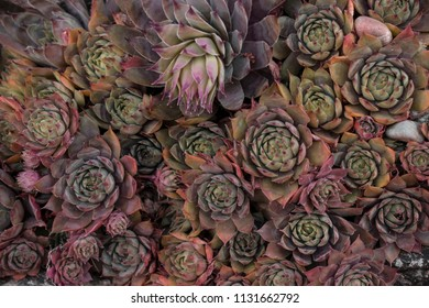 These regularly growing succulents are well suited as a background