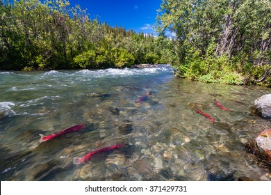These sockeye aka red salmon swam up the Copper River hundreds of miles to reach these spawning grounds