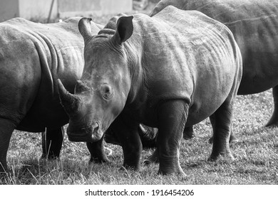 These three male rhinoceros were all born relatively close to one another, however the size and weight of each one varies massively. All three of these rhinoceros are still growing.