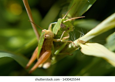 These two grass hoppers are mating