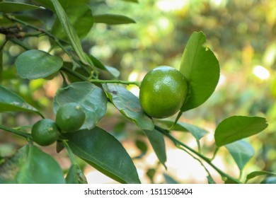 These Vietnamese kumquats are growing up in my garden. They can be used to make juice and is a cooking ingredient.