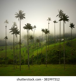 These wax palm trees in the Cocora valley in Colombia are the tallest palm trees in the world and can get as high as 60m.