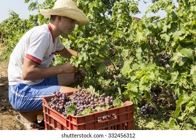 Thessaloniki, Greece- September 14, 2015: Farm worker picking grape during harvest in Thessaloniki, Greece.