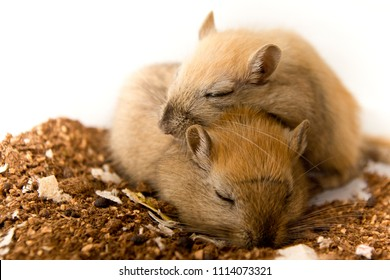 They are a pair of Gerbil brothers. They are the cutest animals ever. They love to cuddle, play and sleep together. They cannot be separated. This is strong bond and connection.