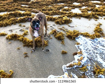 thick brown sargassum seaweed on the shore of Florida beaches in 2018 summer bloom