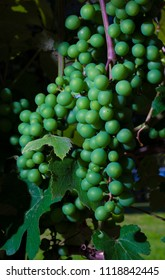 Thick bunches of grapes ripening on a vine
