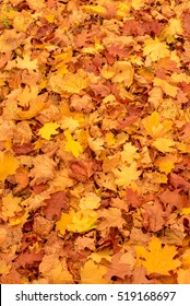 Thick carpet of colorful vivid yellow maples leaves in fall or autumn lying on the ground in a full frame vertical view