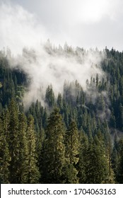 A thick cloud of fog rolls through the evergreen forest of Mount Rainier National Park, Washington. A moody foggy portrait landscape of alpine trees on a mountain.