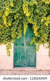 Thick covering of elderberry and ivy green leaf plant covering the top of a weather worn wooden green painted door with a metal black door knocker. the wall is  white and there are cobbles in front.