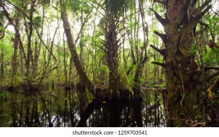 Thick dense swamp in Florida's Fakahatchee Strand, part of the greater Everglades ecoystem