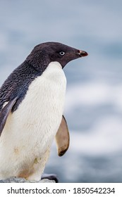 Thick feathers keep adele penguins warm all year long