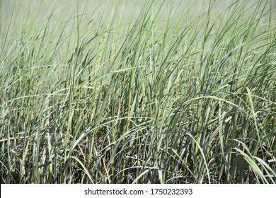 Thick field full of long marsh grass.
