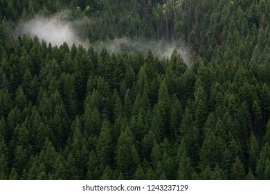 Thick forest of evergreen trees on a foggy morning at Mount Timpanogos along Utah Wasatch mountains on the Alpine Scenic Loop