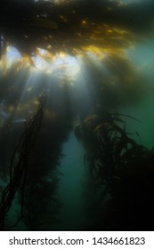 A thick forest of giant kelp, Macrocystis pyrifera, grows along the coast of California. This is a species of marine algae that can grow quickly and form ecologically important underwater habitats.