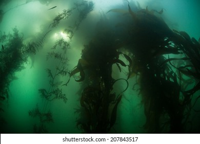 A thick forest of giant kelp (Macrocystis pyrifera) thrives off the coast of Monterey, California. Kelp forms vital habitat used by a diverse array of fish and marine invertebrates.