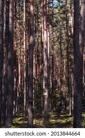 A thick forest of pine trees, long, slender tree trunks, sun and shadow game