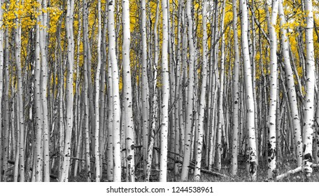 Thick forest of tall aspen trees with golden yellow leaves in black and white landscape scene background