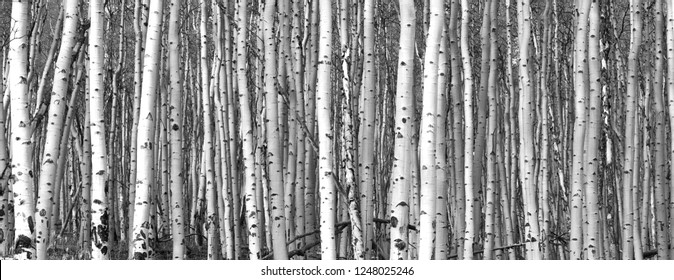 Thick forest of tall aspen trees in black and white landscape scene background