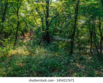 Thick forest thickets of deciduous forest on a summer day. North Caucasus Black Sea.