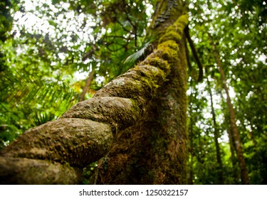 Thick forest vine twisted like a rope climbing into jungle canopy. Mossman world heritage rainforest. Lush green natural enviroment.