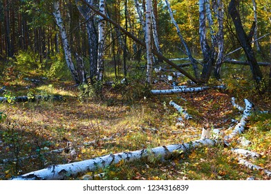 Thick green leafy birch forest with fallen trees on a sunny day. Forest conservation area. Natural Park.