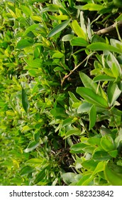 Thick green leaves of bushes, background