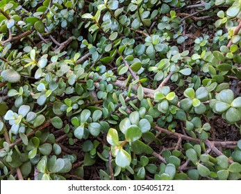 Thick leaves of succulent African plant of Portulacaria Afra or Spekboom Elephant Bush