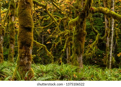 Thick Moss on Sitka Trees with Ferns in Northwestern Rainforest