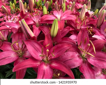 Thick patch of blooming bright pink Asiatic lily flowers, with unopened buds