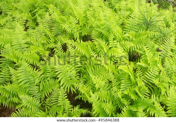 Thick patch of Cinnamon Ferns filling frame