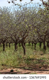 Thick pistachio nut tree branch in semidesert commercial orchard in spring season