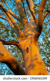 thick powerful sycamore tree by spring evening