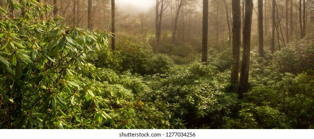 Thick Rhododendron Forest at Foggy Sunrise, North Carolina