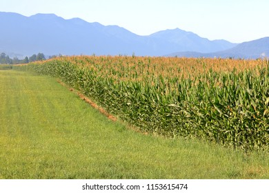 Thick, ripe cornfield during late summer when it will soon be harvested.
