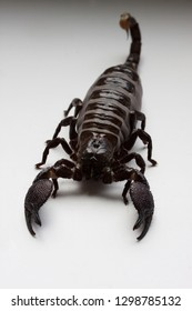 Thick scorpion on a white background. Scorpio after feeding