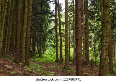 Thick spruce forest on the hillside overlooking the sky