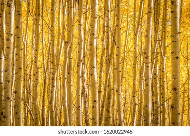 A thick stand of aspen trees on a sunny afternoon in Uncompaghre National Forest, Colorado.