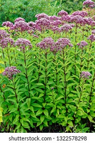 A thick stand of Joe Pye weed, a wildflower native to Canada and the United States.