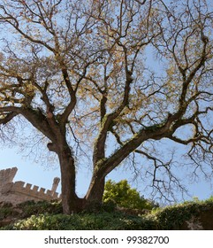 The thick tree near the fortress wall in the Quinta da Regaleira in Sintra - Portugal