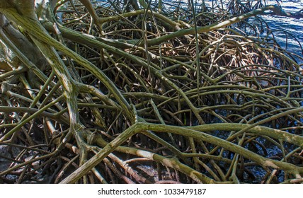 thicket of mangrove roots