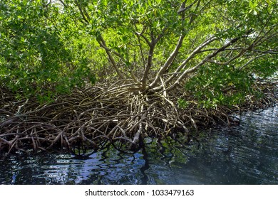 thicket of a mangrove roots and stems