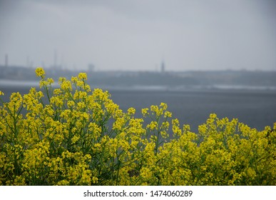 Thickets of blooming rapeseed on the islands against a background of gray sky and water. Bright sunspots in a gloomy rainy day while traveling
