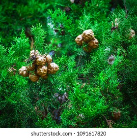 Thickets of cypress trees are green branches with cones.