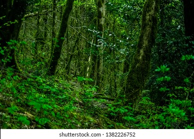 thickets of green forest trees in the moss nature in the mountains