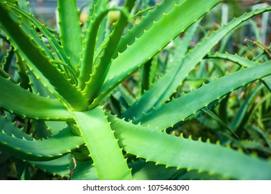 thickets of green juicy aloe